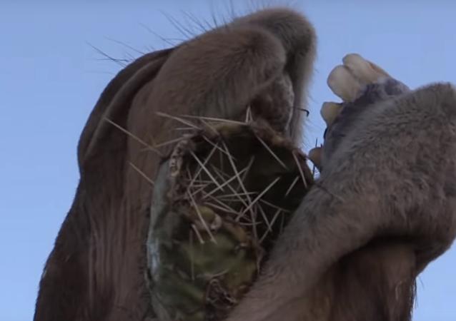 Velbloud jí kaktus s obrovskými jehlami a ani se mračí! VIDEO, bolí už jen se na něj dívat