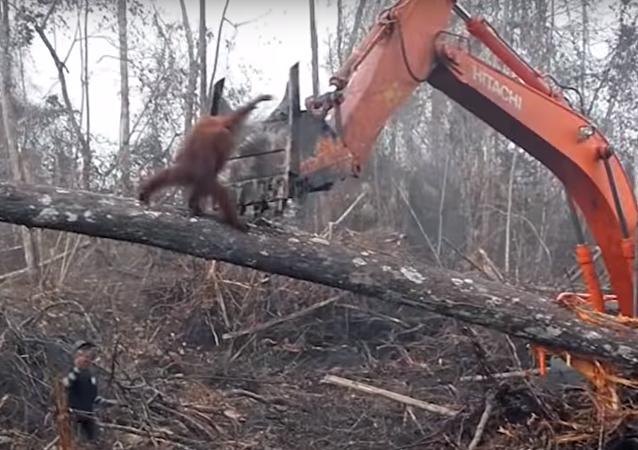 Tak to je mela! Boj orangutana s buldozerem byl natočen na VIDEO
