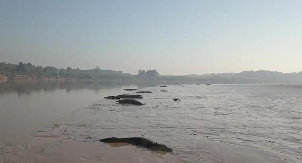 Na břeh řeky vylezly desítky krokodýlů