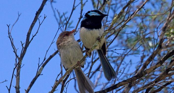 Ptáčci malura (z čeledi Maluriade)