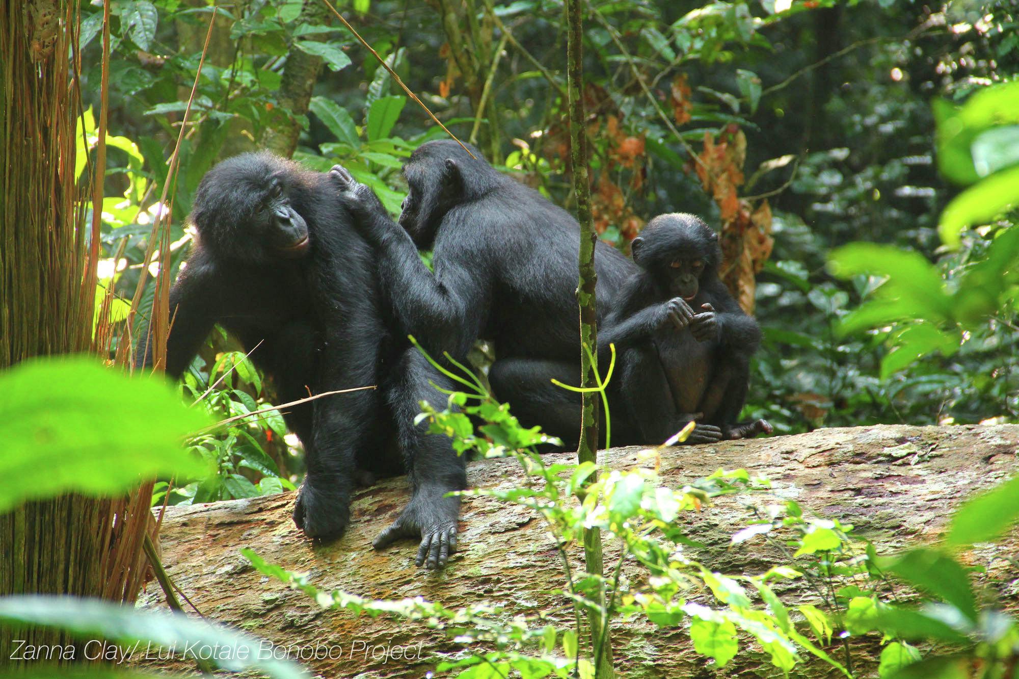 Šimpanze bonobo (Pan paniscus)