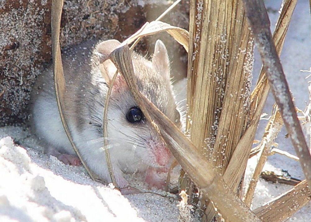 Pobřežní křeček (Peromyscus polionotus)