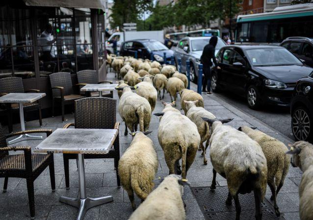 Ovce okupují pařížská předměstí