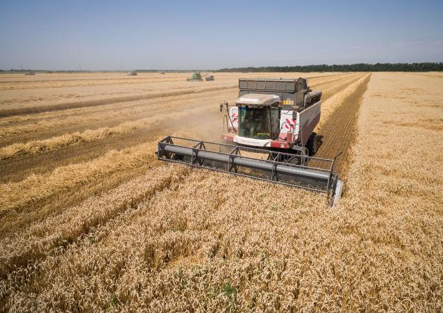 Sklízení pšenice v Krasnodarském kraji
