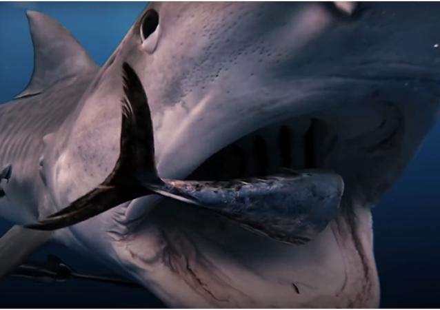 Potápěči na Floridě se podařilo nahlédnout do tlamy žraloka tygřího