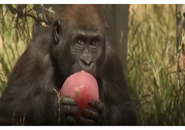V londýnské zoo zvířata před horkem zachraňují nezvyklým způsobem