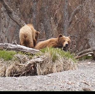 Medvědí péče: Medvědice vychovává čtyři načechrané mláďata na Kamčatce