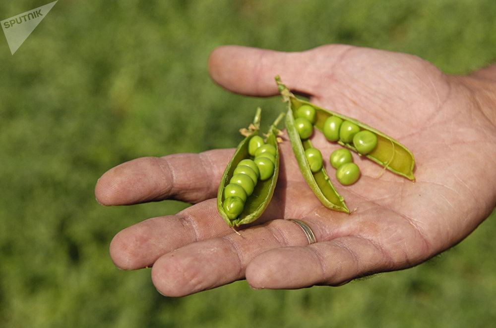 Zelený hrášek