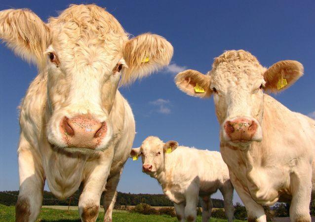 Krávy na louce