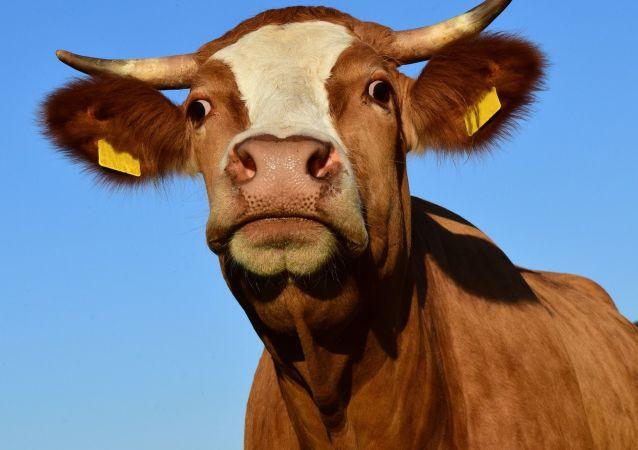 Kráva. Ilustrační foto
