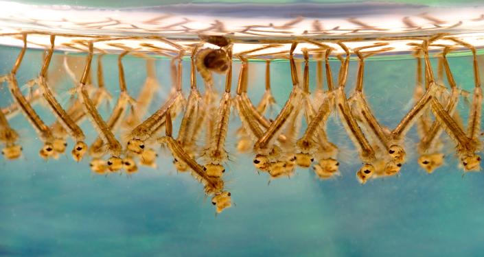 Larvy komára šiřitele západonilské horečky