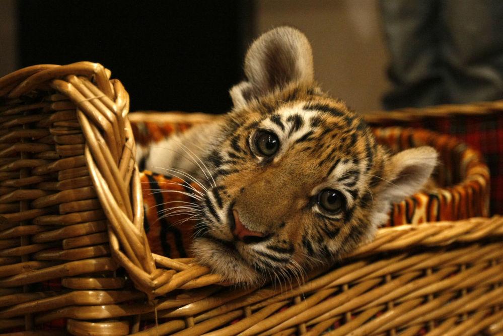 Tygří dětství