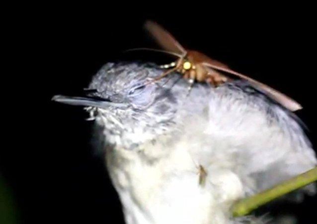 Motýl, který pije slzy z očí spícím ptákům (VIDEO)