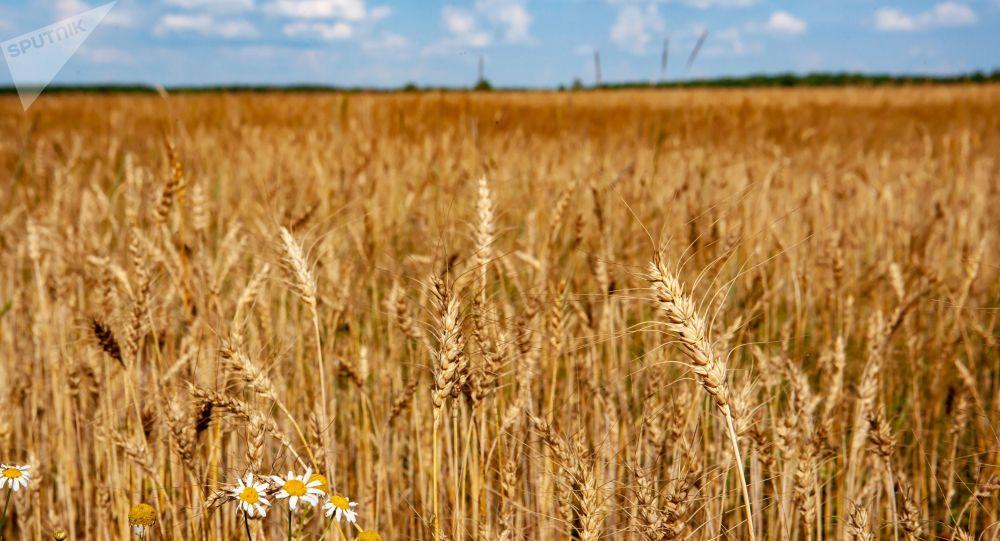 Pšeniční pole