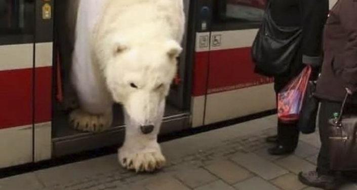 Bílý medvěd vystupující z tramvaje