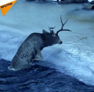 Jelen šíleně bojoval o život v ledové řece, dokud se nestalo tohle