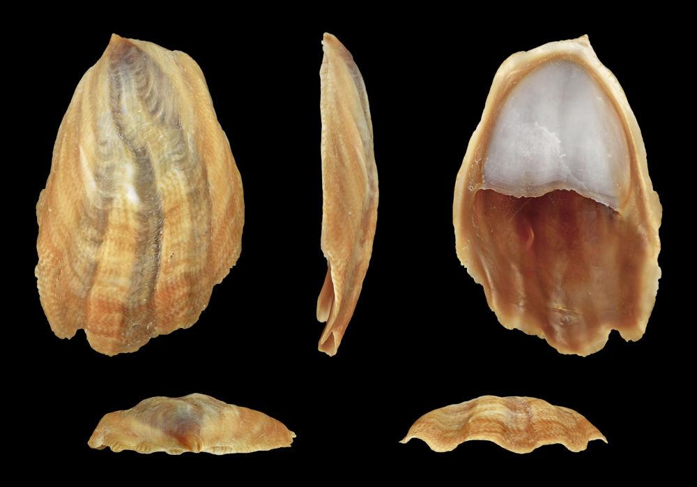 Mořský šnek Crepidula onyx