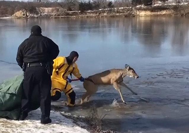 Záchrana jelena