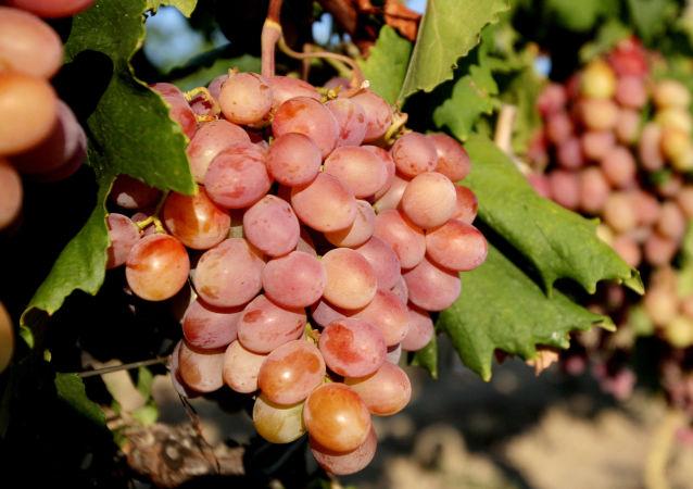 Sklizeň vína na Krymu