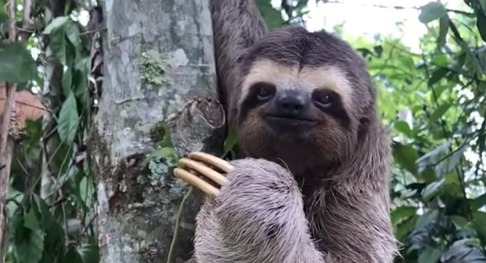 Dojemné video. Muž pomohl lenochodovi přejít silnici a zvíře mu na rozloučenou mávlo tlapkou